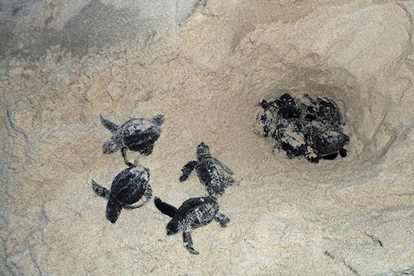 Turtle nest hatching